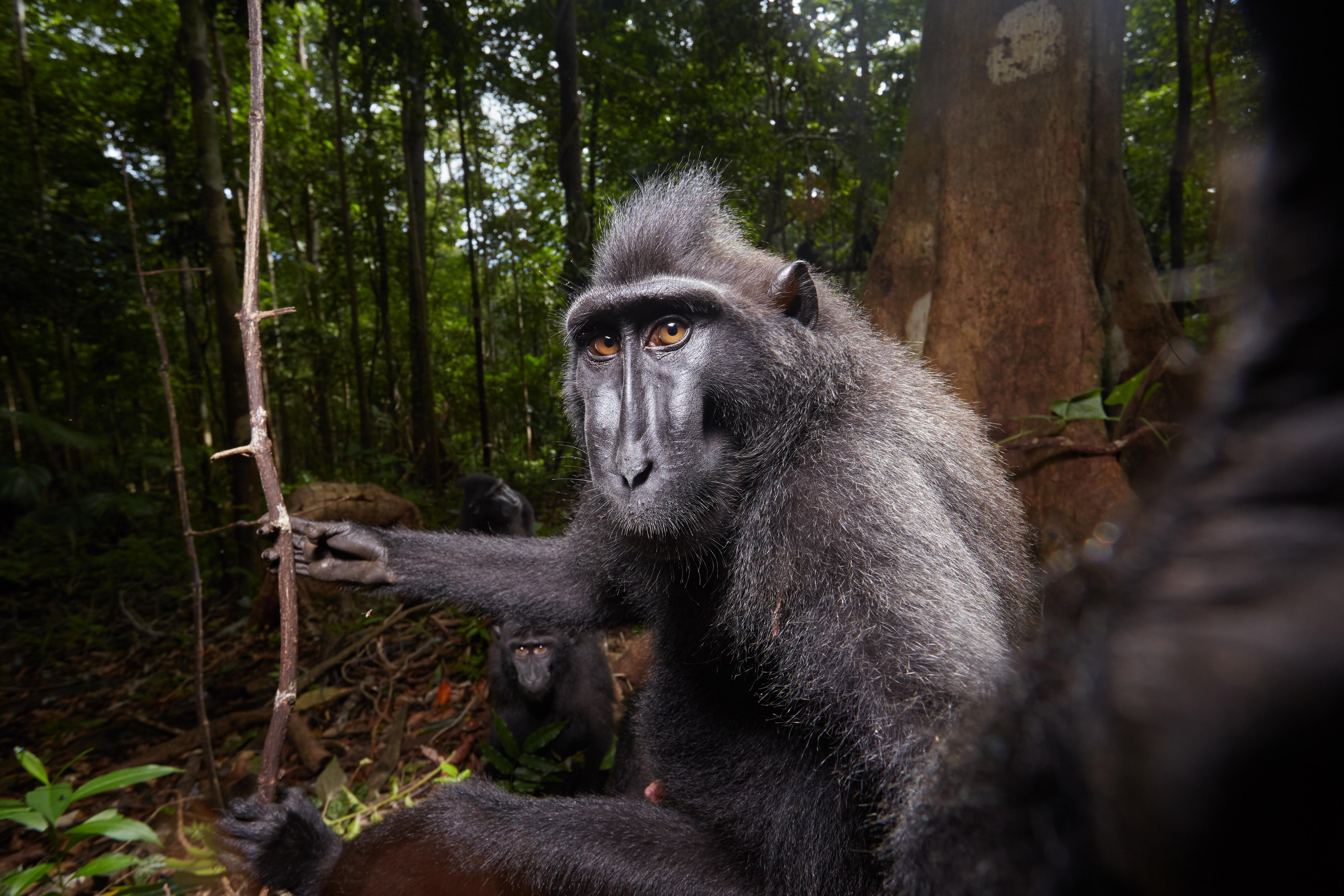 Macaco negro