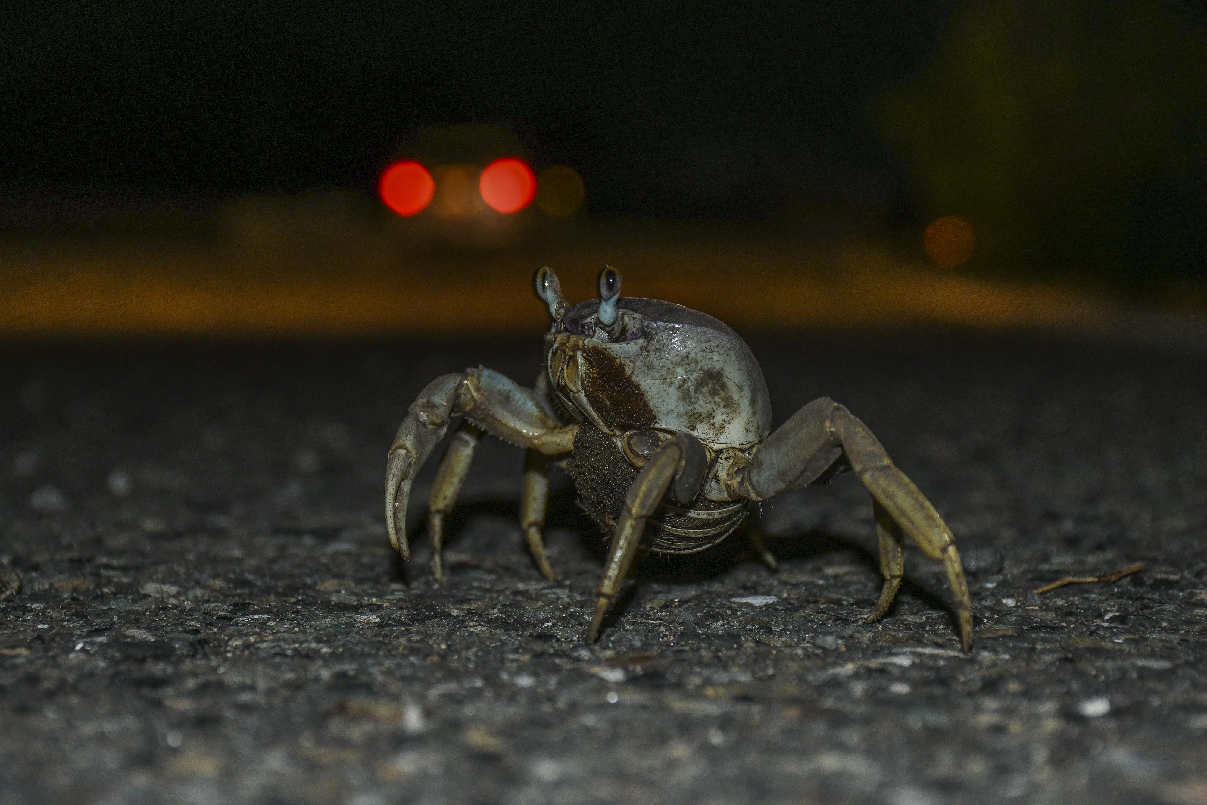 El cangrejo azul que habita en la ciénaga es una de las especies afectadas en su proceso de migración.