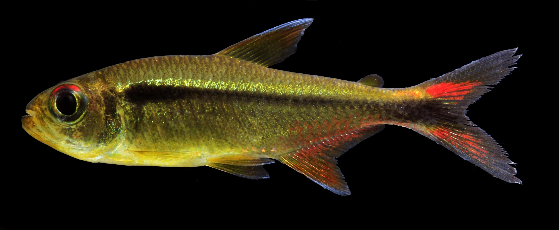 Este pez de agua dulce puede llegar a medir hasta cinco centímetros.