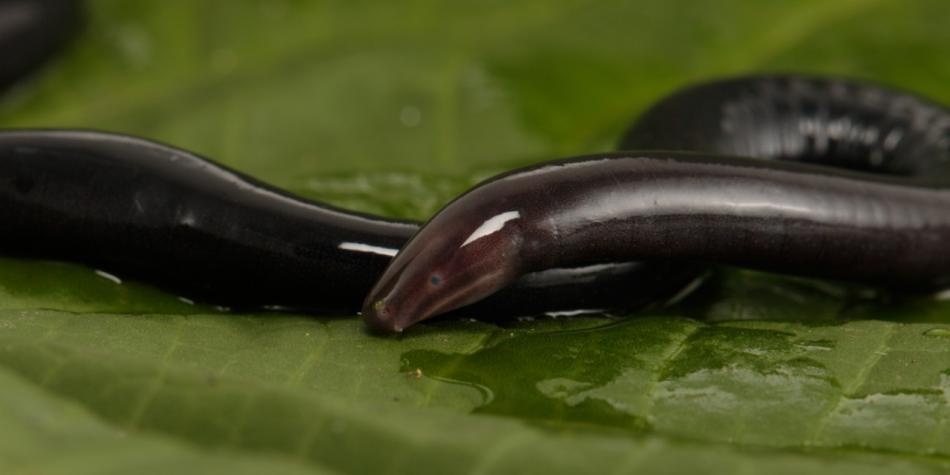Las culebras ciegas en realidad no son reptiles, son anfibios.