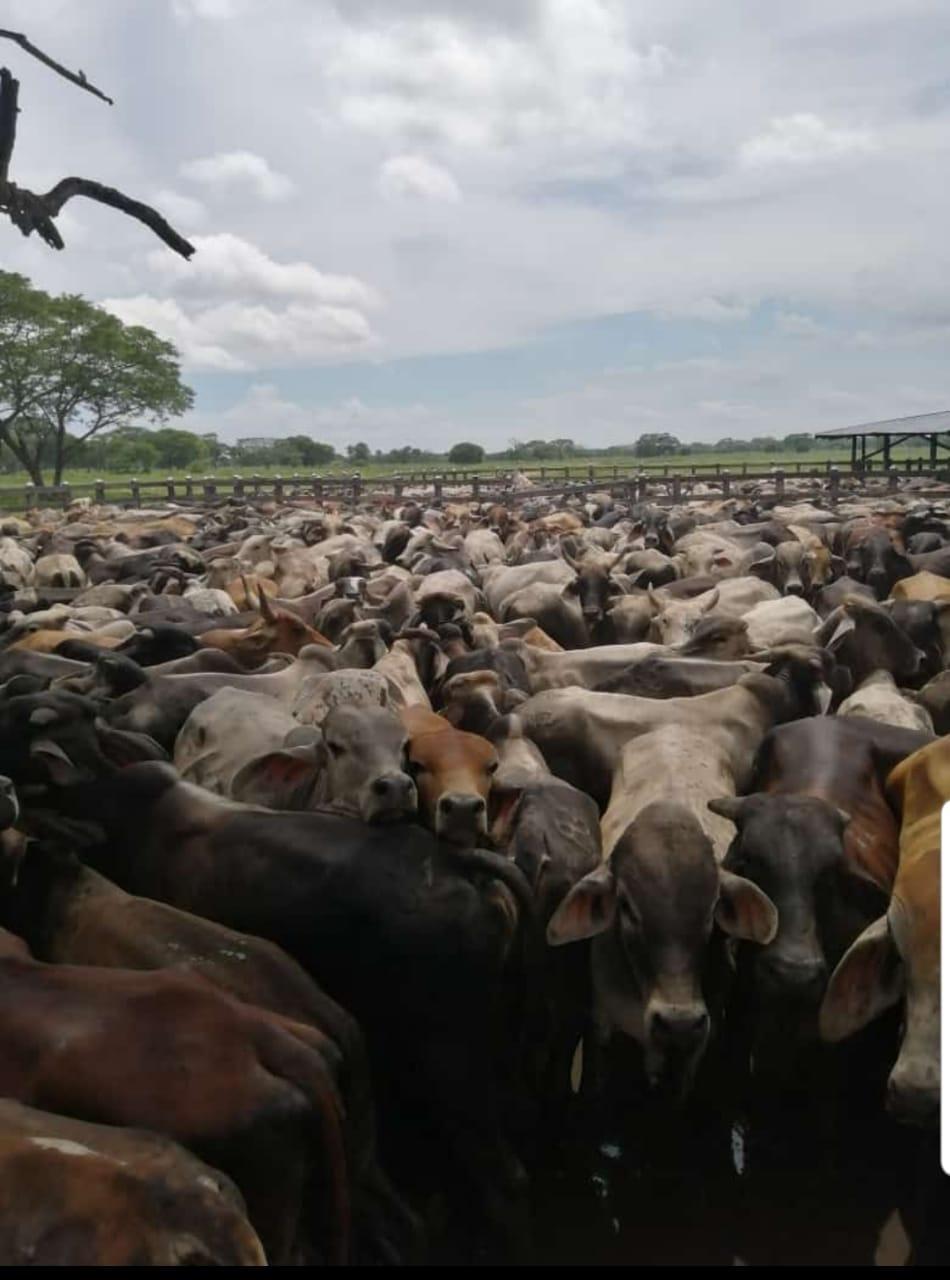 8000 cabezas de ganado expropiadas en la operación.