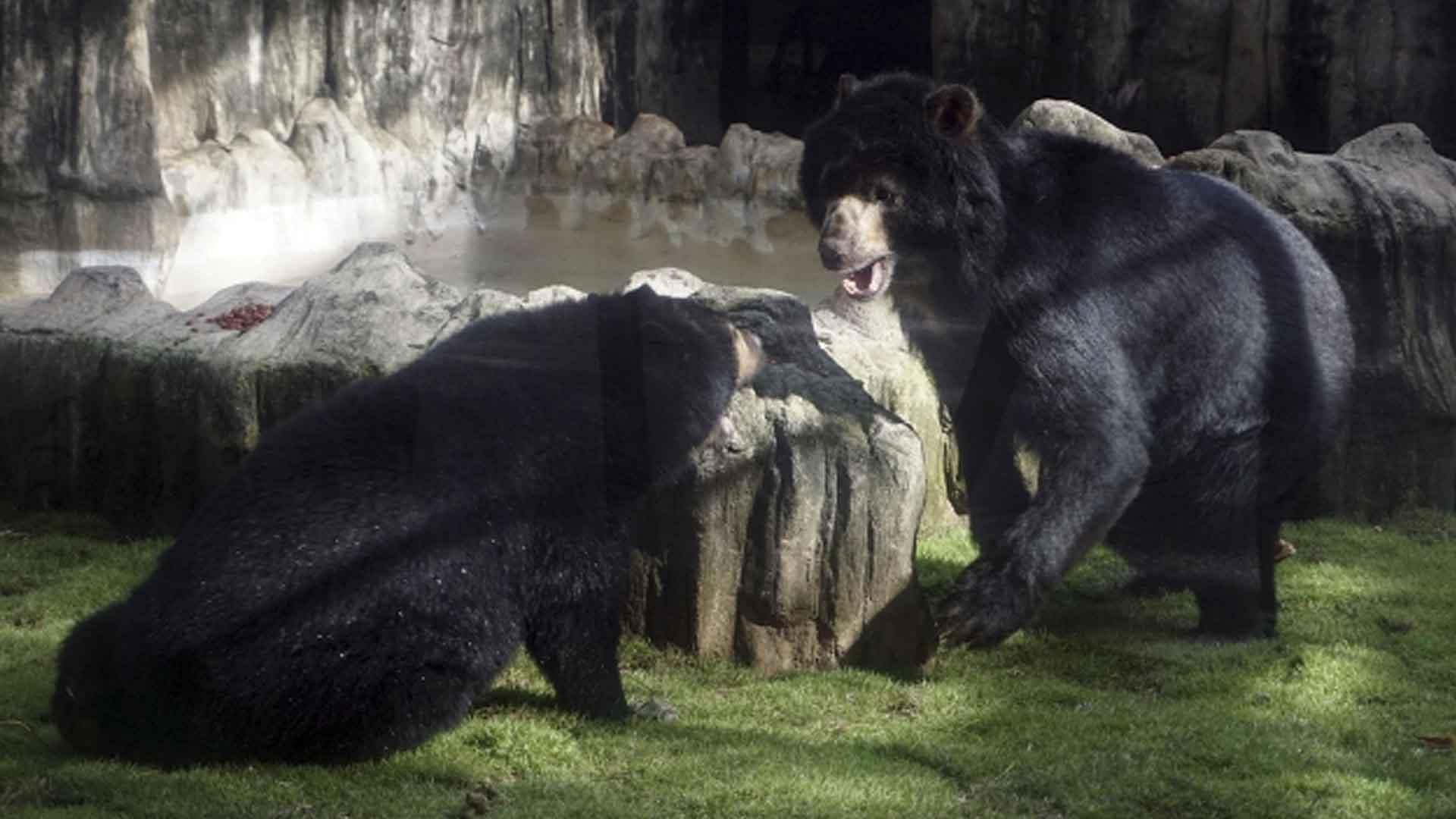 Zoologico De Barranquilla Dice Que El Oso Chucho Esta En Su Mejor Momento