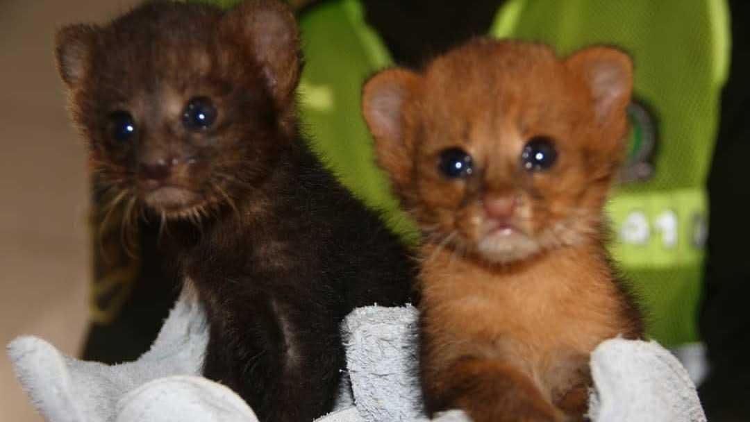 mentiroso níquel Instituto  No eran gatitos sino dos crías de puma! | El Heraldo