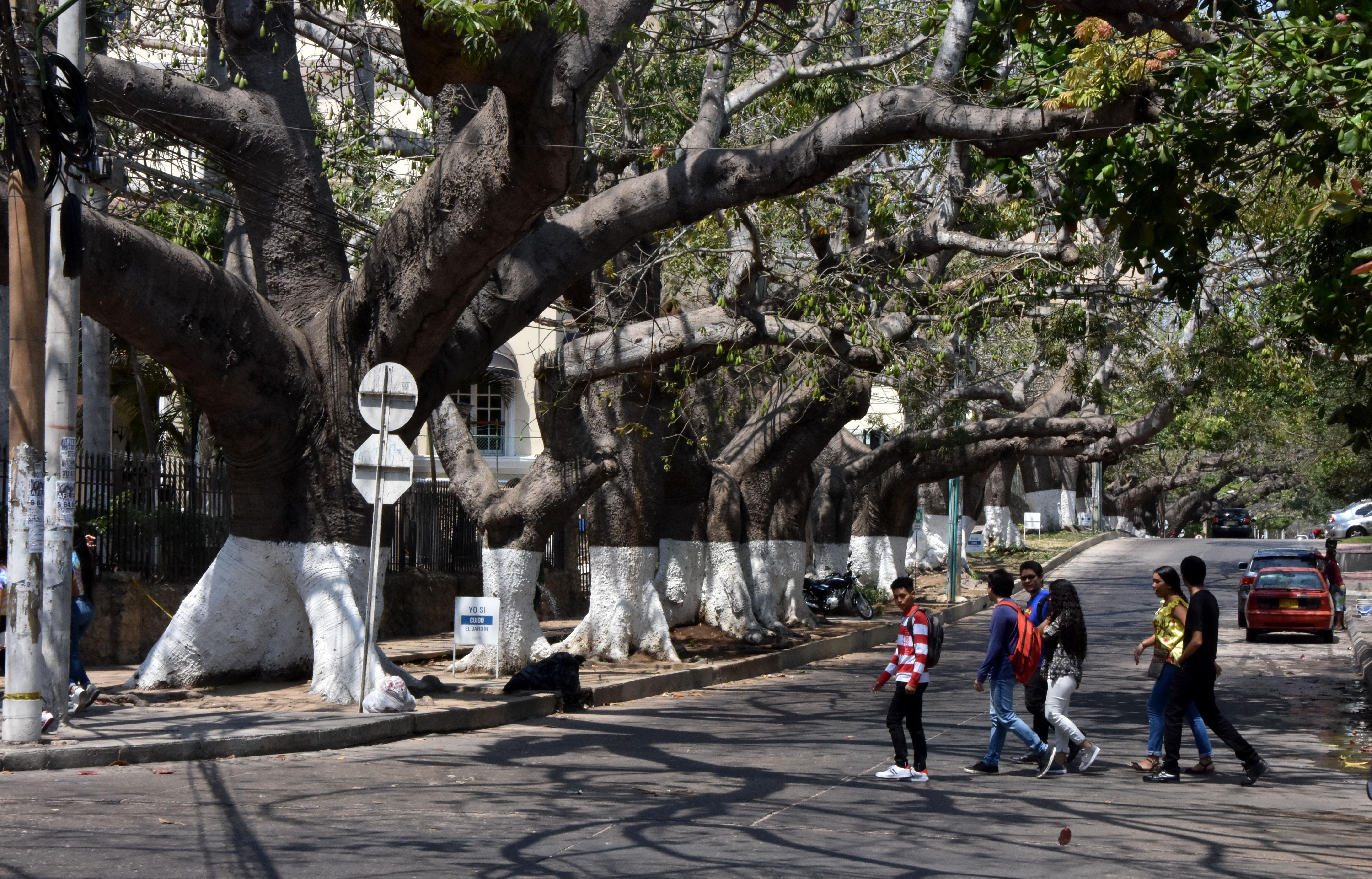 Los árboles de bongas al lado del Hotel El Prado.