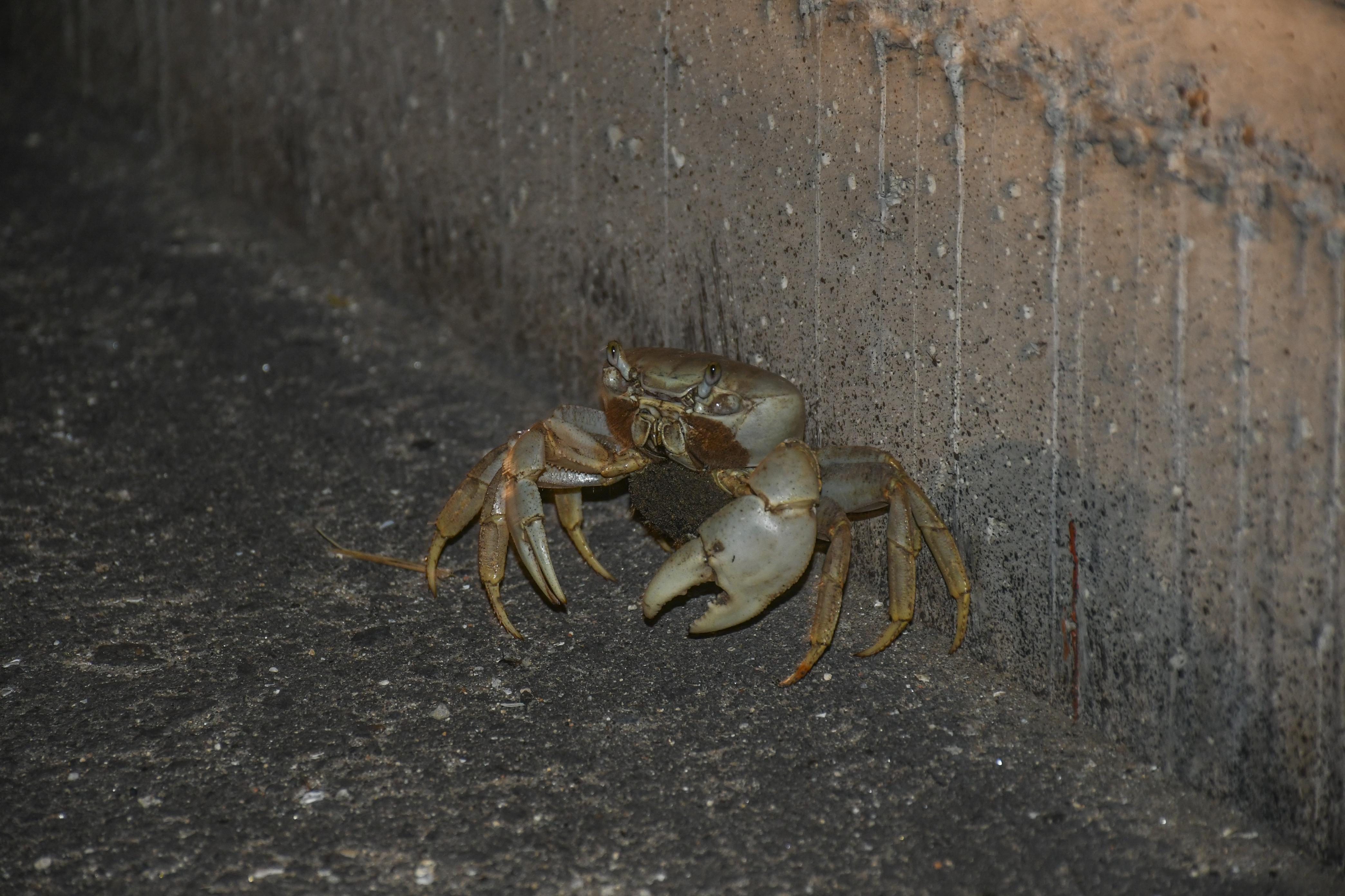 Un cangrejo atrapado en el separador vial.