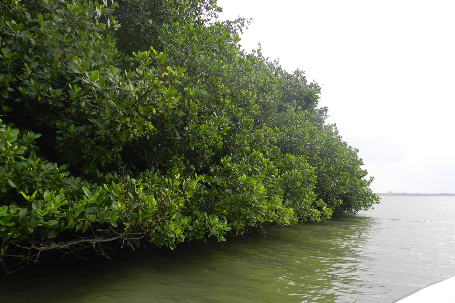Pese a que el mangle rojo ha sufrido la tala indiscriminada, aún se encuentra en la Ciénaga de Mallorquín.