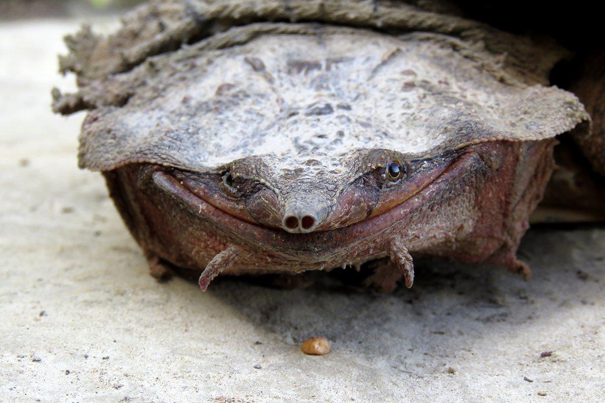La cuenca del Orinoco cuenta con su propia especie de tortuga matamata.