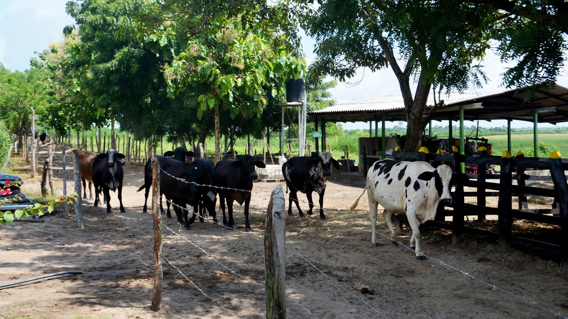 El modelo productivo del pequeño productor debe llegar a producir 200 litros de leche diarios.
