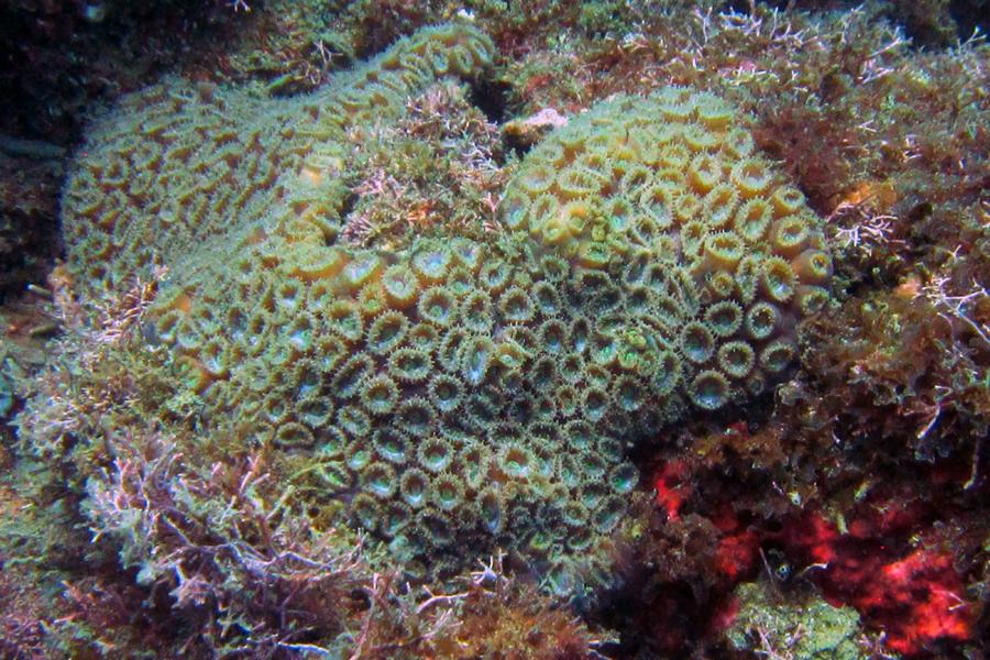 El Montastrea es una especie de coral catalogada en peligro de extinción, que fue hallada en Pto. Caimán.