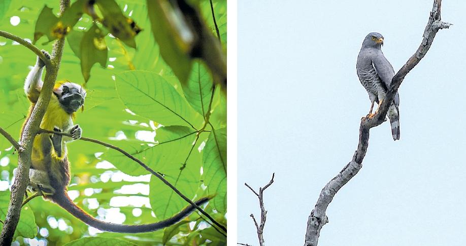 Mono tití cabeciblanco en El Ceibal. Un halcón permanece en una rama en Los Rosales.