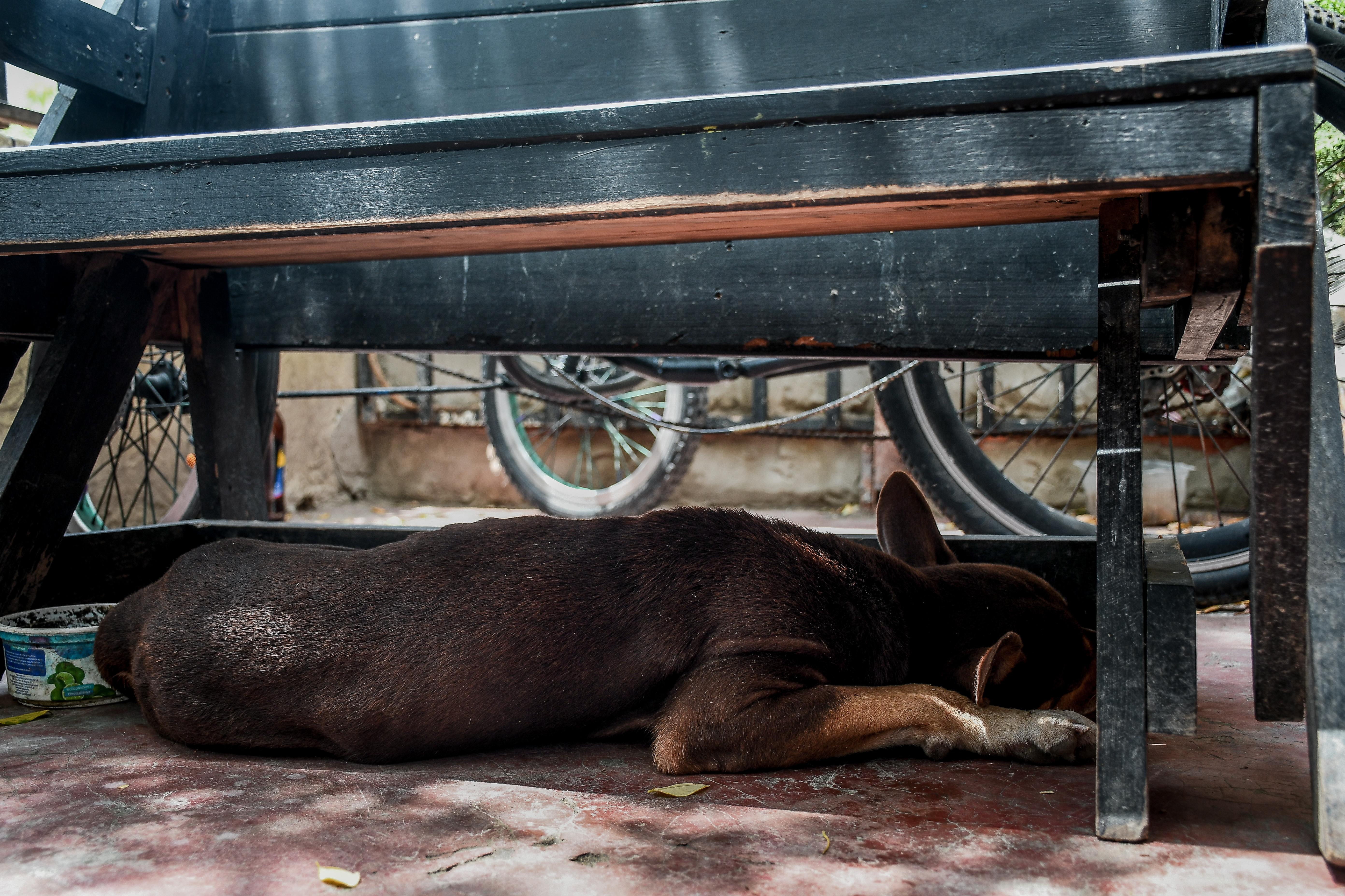 Chocolate, en recuperación, descansa bajo una mesa.