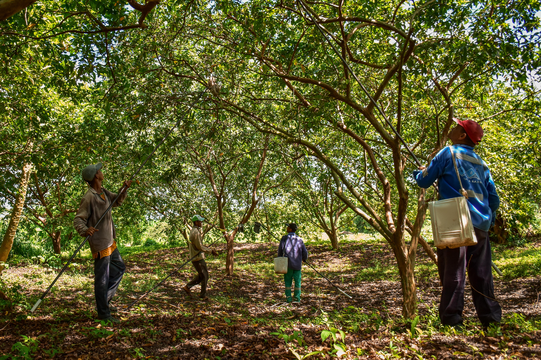 Un grupo de campesinos recoge los frutos del cultivo de guayaba en una finca ubicada en el municipio de Candelaria.
