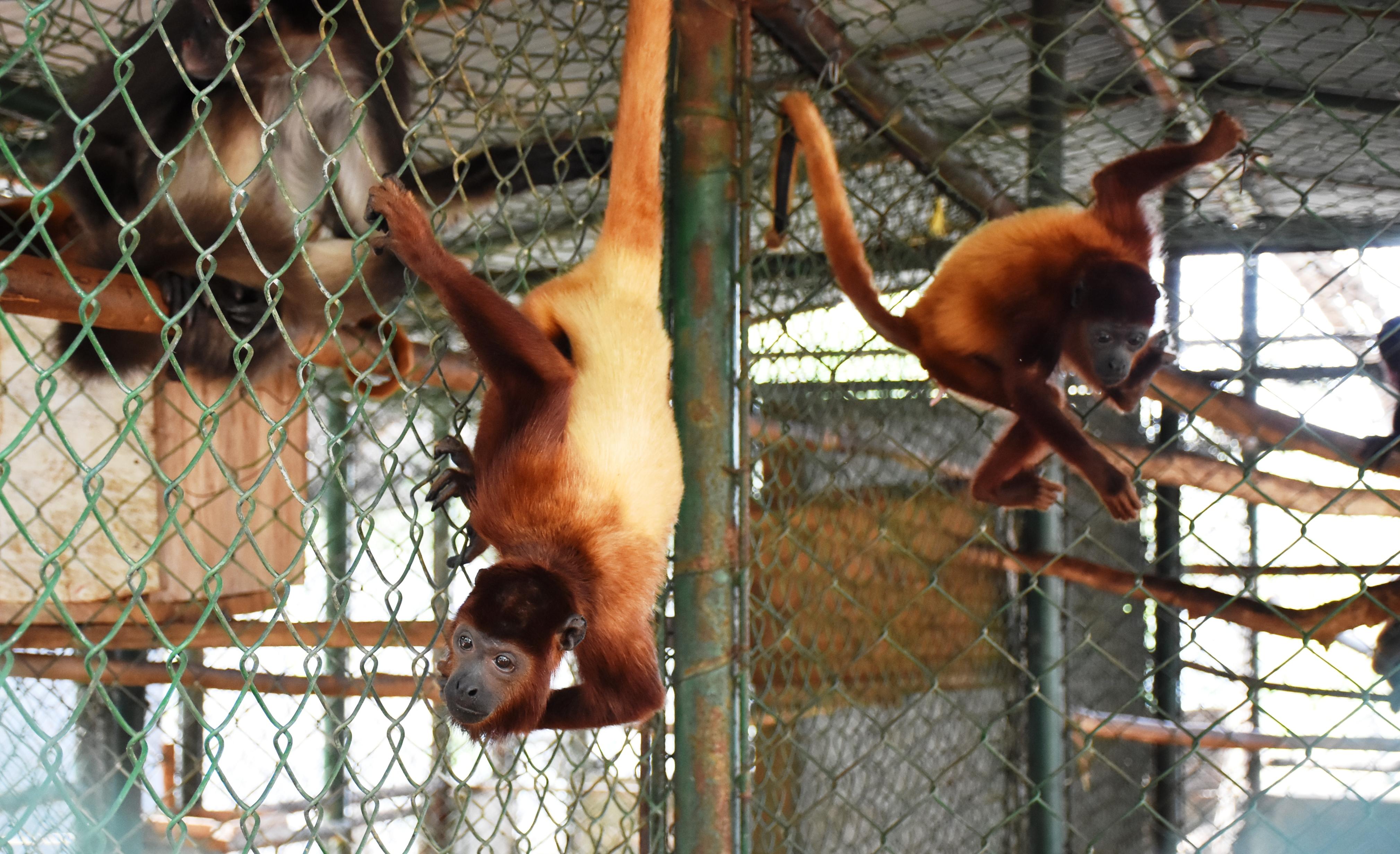 Los monos tienen un proceso de recuperación largo.