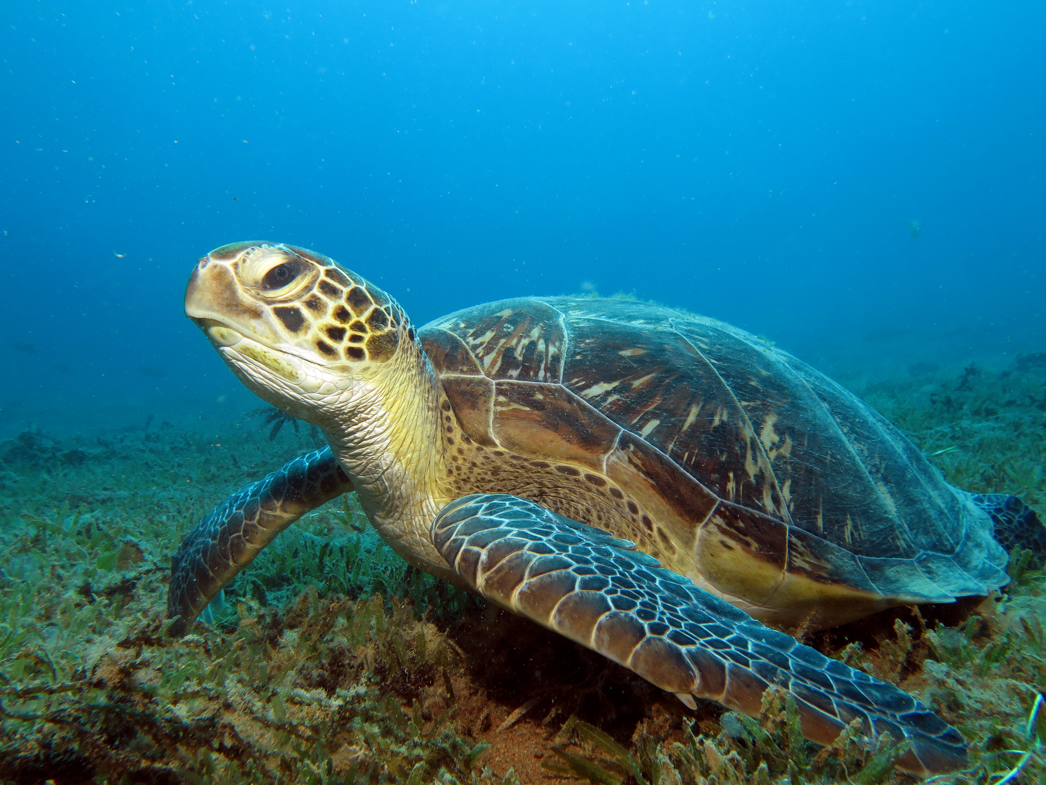 Chelonia mydas o tortuga verde, una de las especies marinas amenazadas.