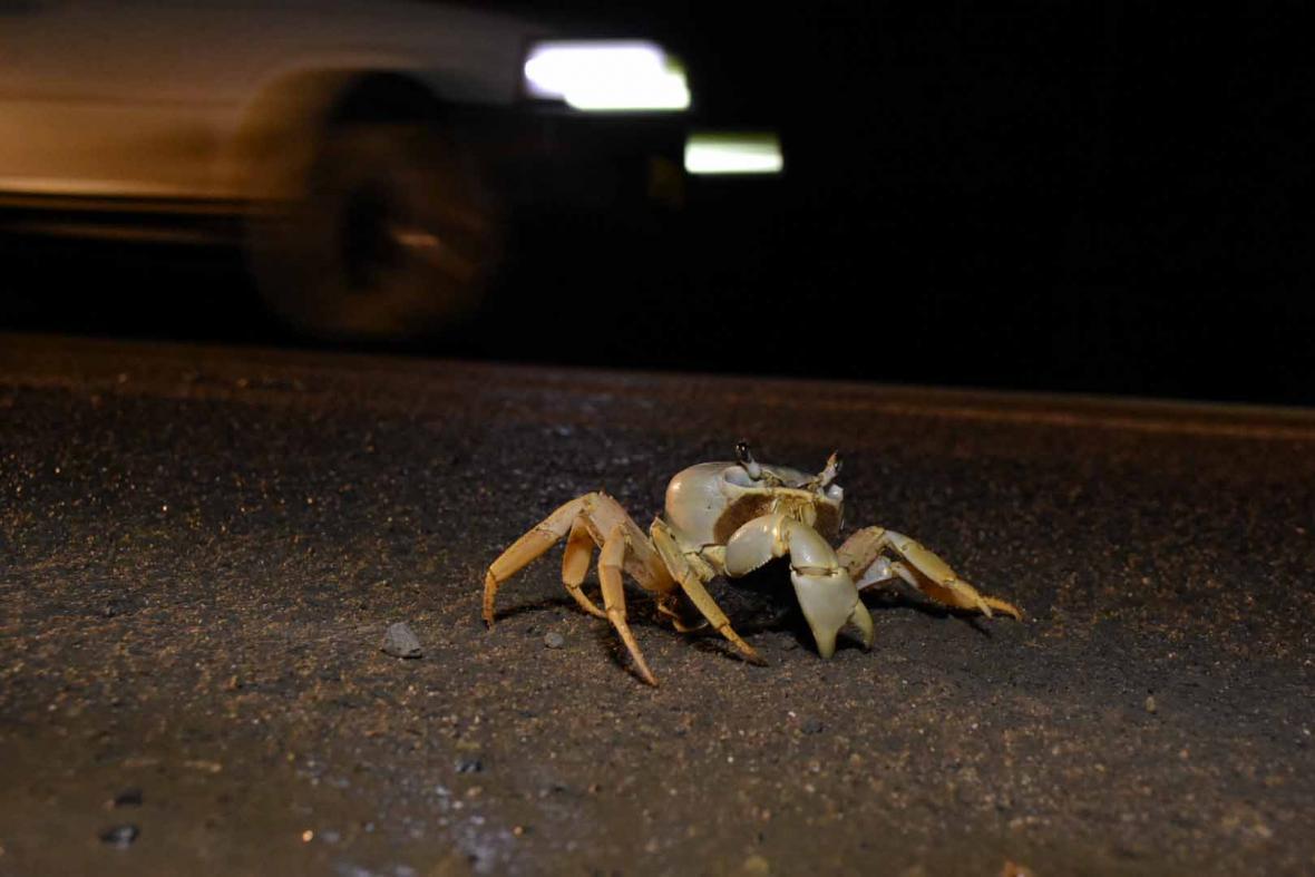 Un cangrejo intenta cruzar la carretera.