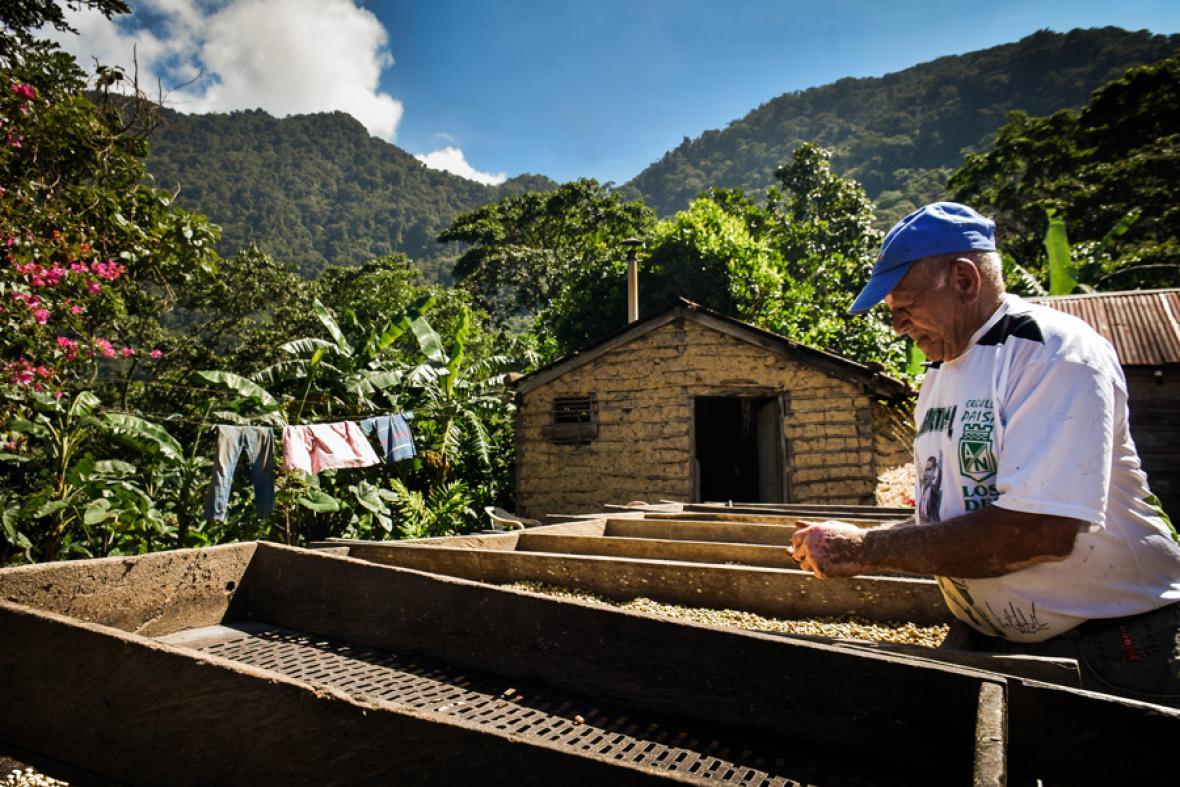 Miro Morillo pone a secar los granos de café mientras selecciona los que están malos para separarlos del resto.