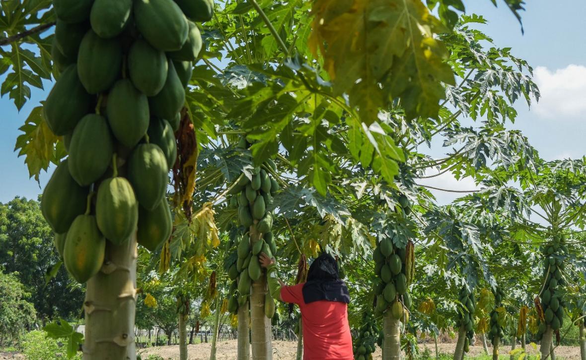 Resultado de imagen para frutas que se cultivan en el atlantico
