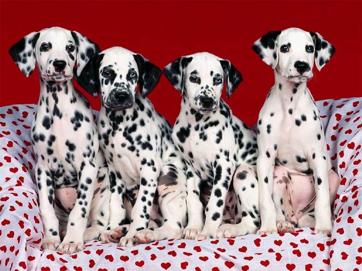 Perros de la raza dálmata, que son símbolos del país europeo.