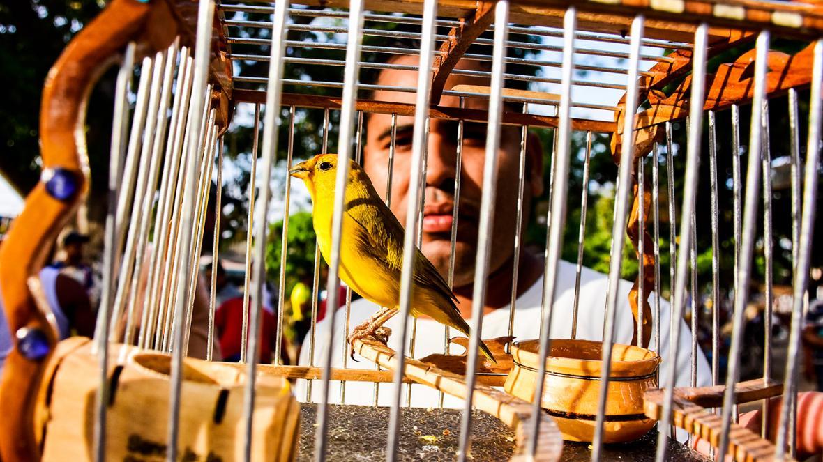Los canaricultores no dejan de vigilar a sus aves, le siguen con la mirada sus pasos, le contabilizan el tiempo y, si dura poco cantando, lo entrenan a diario.