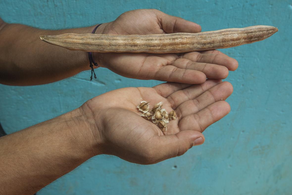 Así lucen las semillas antes de ser procesadas.