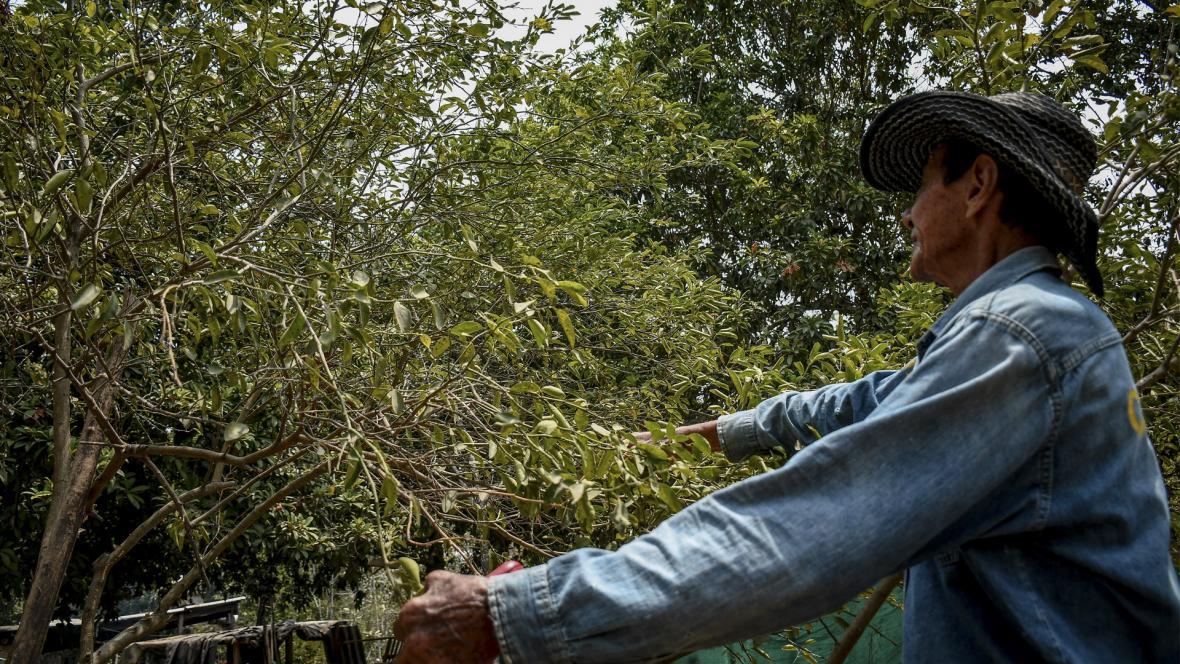 Un campesino corta  las ramas de un árbol infectado con la plaga llamada dragón amarillo.