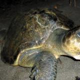 Tortugas, loros y micos: especies de mayor tráfico en Colombia