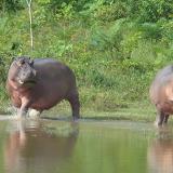 Ministra de Ambiente prende alarmas por tema de peligrosidad de hipopótamos