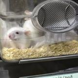 Células madre humanas injertadas en ratas crecen como neuronas