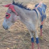 Indignación por burro usado como valla