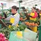 Vender 480 millones de rosas, objetivo  de floricultores