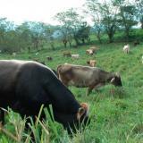 Ofrecen recompensa por ganado y carne de contrabando en Cesar