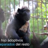 La tierna historia de la macaca que adoptó un pollo