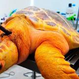 La tortuga encontrada pertenece a la especie carey.