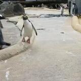 En video | El singular movimiento de un pingüino que se volvió viral en redes