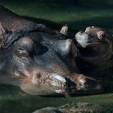 Nace el primer hipopótamo en 13 años en un parque de Disney en Florida