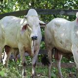 Colombia prepara 10 mil cabezas de ganado para exportar a Jordania