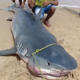 Sorpresiva aparición frente a costas guajiras: atrapan tiburón gigante en Camarones (Riohacha)