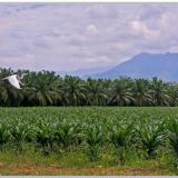 Erradican en Magdalena 161 mil plantas de palma de aceite afectadas  por la pudrición del cogollo