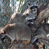 33 mapaches retornan a su hábitat natural en la Isla de Barú