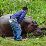 'Tyson', el hipopótamo que deambulaba en un pueblo de México