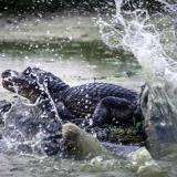 Las babillas regresan al Lago del Cisne