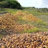 Montañas de mango se pierden en Ciénaga por falta de comprador