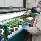 Chocó realizó la primera exportación de aguacate hass