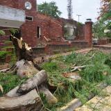 Un árbol derribado por los vientos en Sincelejo.