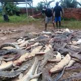 Con cuchillos y machetes, multitud masacra a 300 cocodrilos en Indonesia