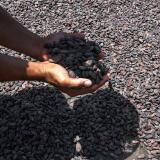 El cacao, la esperanza de los hondureños para una mejor calidad de vida