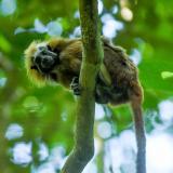 Al día de hoy la fundación que protege esta especie cuenta con 75 hectáreas de reserva del tití cabeciblanco.