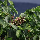 Cultivos de café en el interior del país.