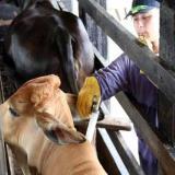 El transporte de ganado sospechoso de fiebre aftosa queda restringido en la capital.