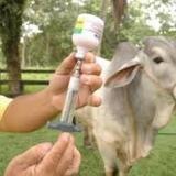 Llamado del Minagricultura para  que vacunen contra la fiebre aftosa